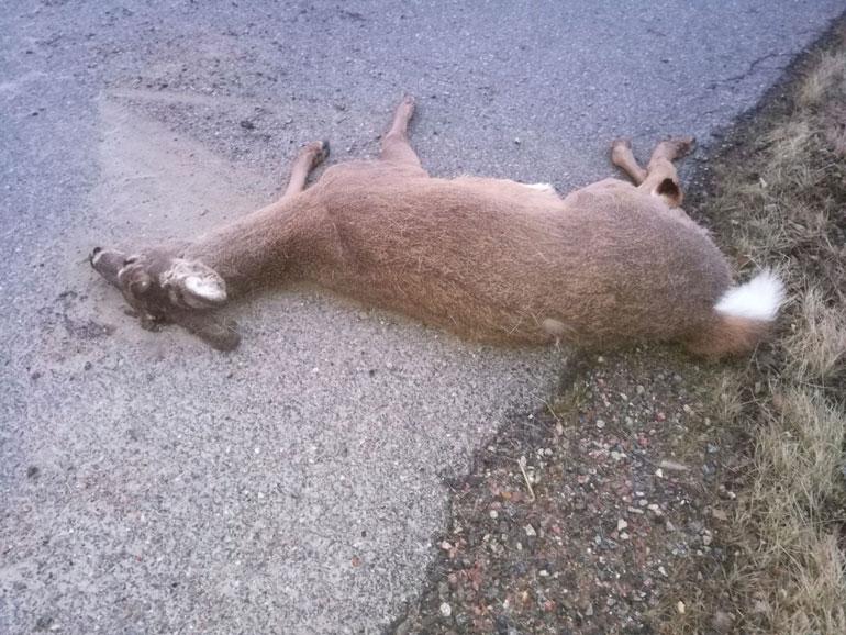 Tauski kertoo, että peura otti törmäyksestä kymmenen metrin ilmalennon.
