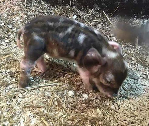 Minipossu Dumbosta kasvoi sittemmin yli 100-kiloinen lemmikki.