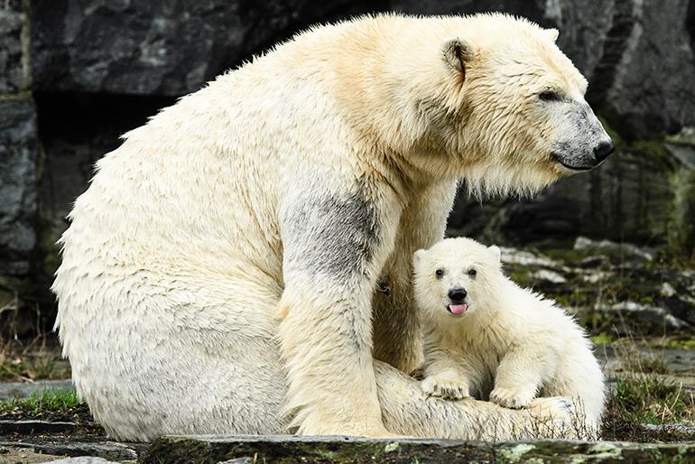 Jääkarhu Berliini