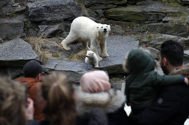 Berliini jääkarhunpentu