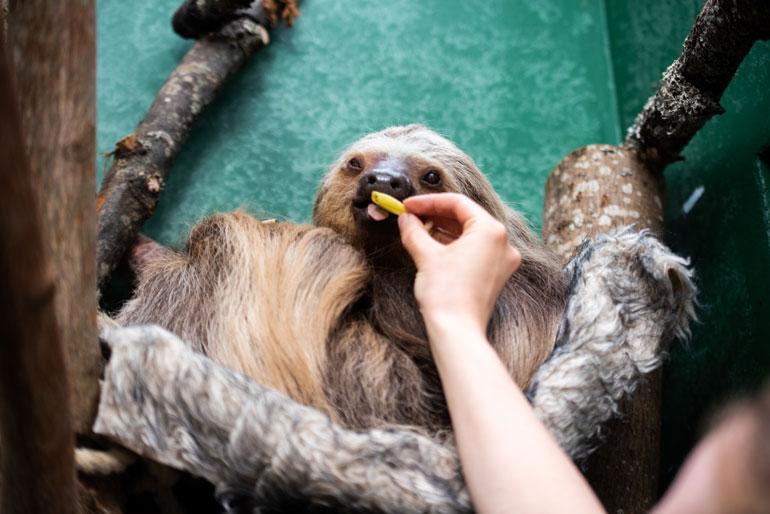 Coco nauttii välipalat mieluiten syötettynä.