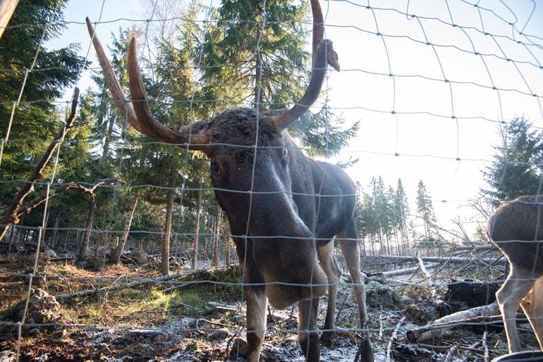 Metsästysaikaan Markku ei voi päästää hirviä kuljeskelemaan täysin vapaasti.