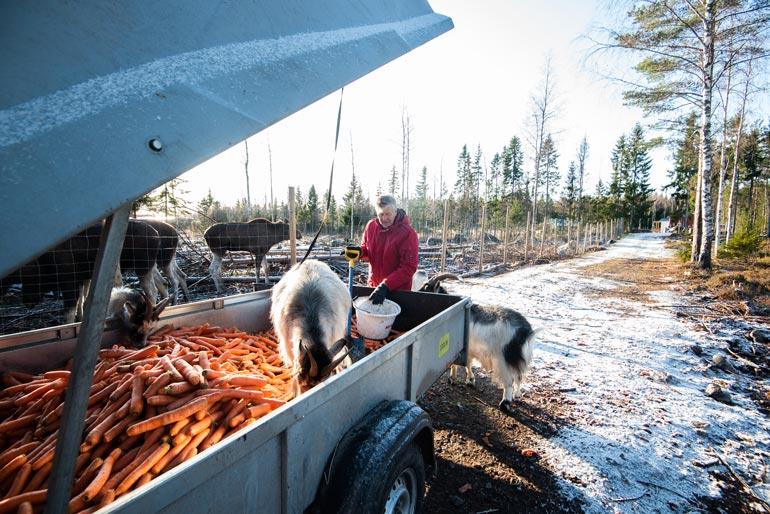 Markun hoidossa on myös vuohia ja pukki, jotka tulevat hyvin toimeen hirvien kanssa. Ruokaa lapiodaan eläimille peräkärrystä.