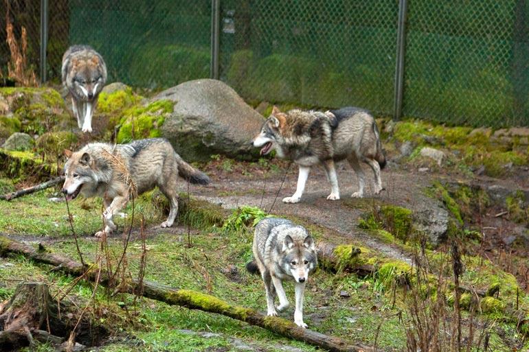 Tässä ovat Ähtärin sudet: Mosse, Leonard, Lennart, Leopold ja Lynette. Viimeksi mainittu on lauman ainoa naaras.