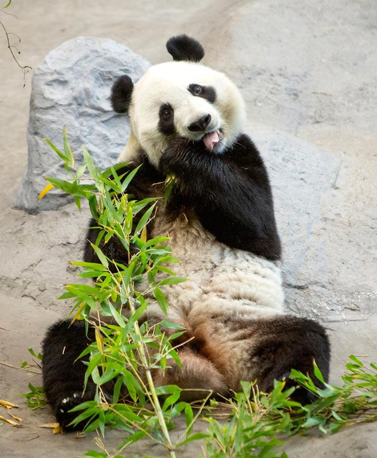 Nam, miten hyvää! Pandoille tarjoillaan päivittäin 50–60 kiloa bambua, josta Lumi ja Pyry pistelevät poskeen noin kolmanneksen.