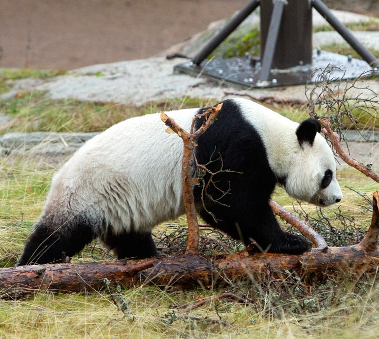 Kiima-aikana pandojen käytös muuttuu. Silloin ne kiinnostuvat selvästi toisistaan ja toistensa hajuista. – Varsinkin uros pystyy tarkasti haistamaan naaraan hajumerkeistä.