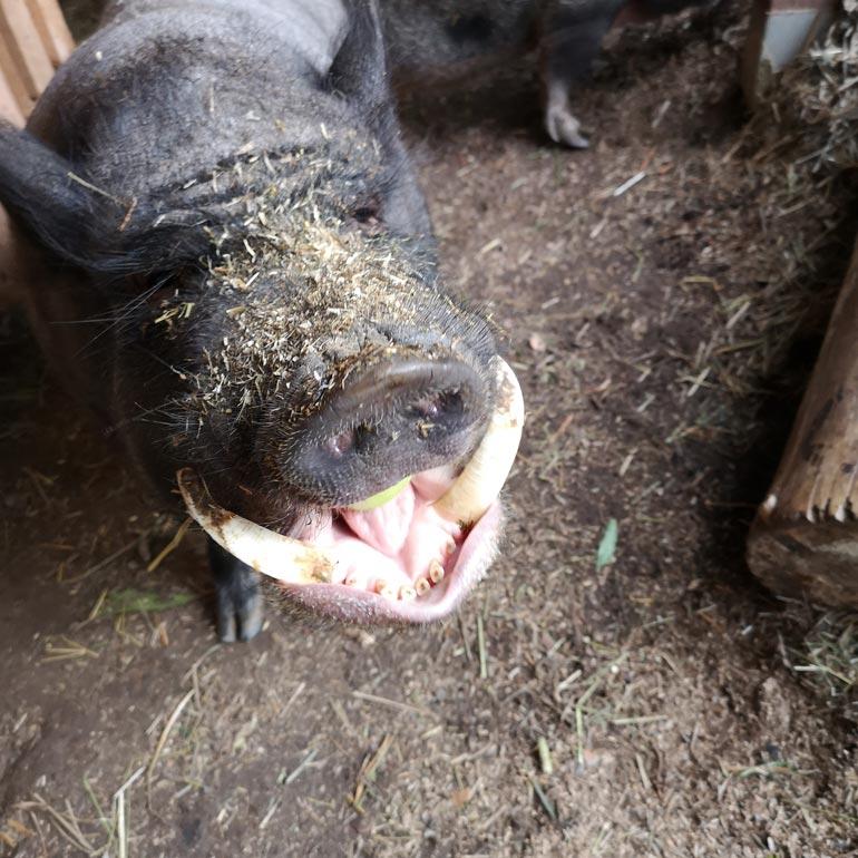 Kuusivuotiaan leikkokarjun Paten hampaat tekisivät pahaa jälkeä varomattoman hoitajan käsissä.