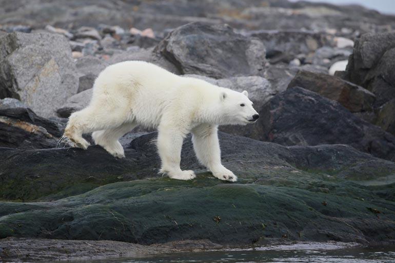 – Jääkarhu on luonnossa tappokone, mutta kirjassamme sankari, joka ratkaisee muovijäteongelman, Pohjoisnavan alueilla 45 kertaa käynyt tutkimusmatkailija Pata Degerman kertoo.  –