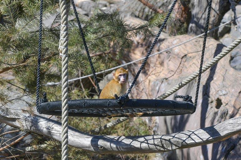 Lauman muut apinat leikkivät paljon mieluummin ulkosalla.