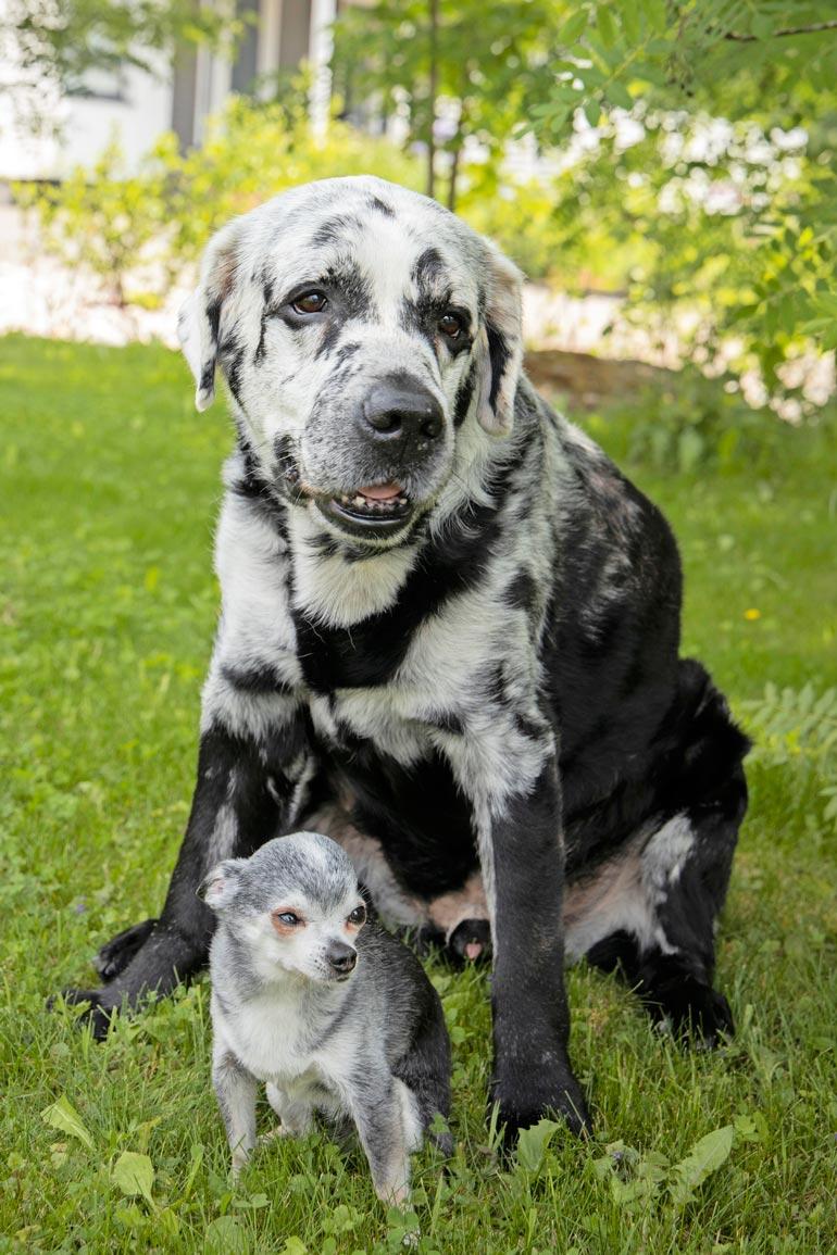 Blazen paras kaveri on chihuahua Punto. – Blaze rakastaa talvea, Punto taas vihaa sitä. Ne ovat todelliset Urpo ja Turpo, koirien omistaja Santeri nauraa.