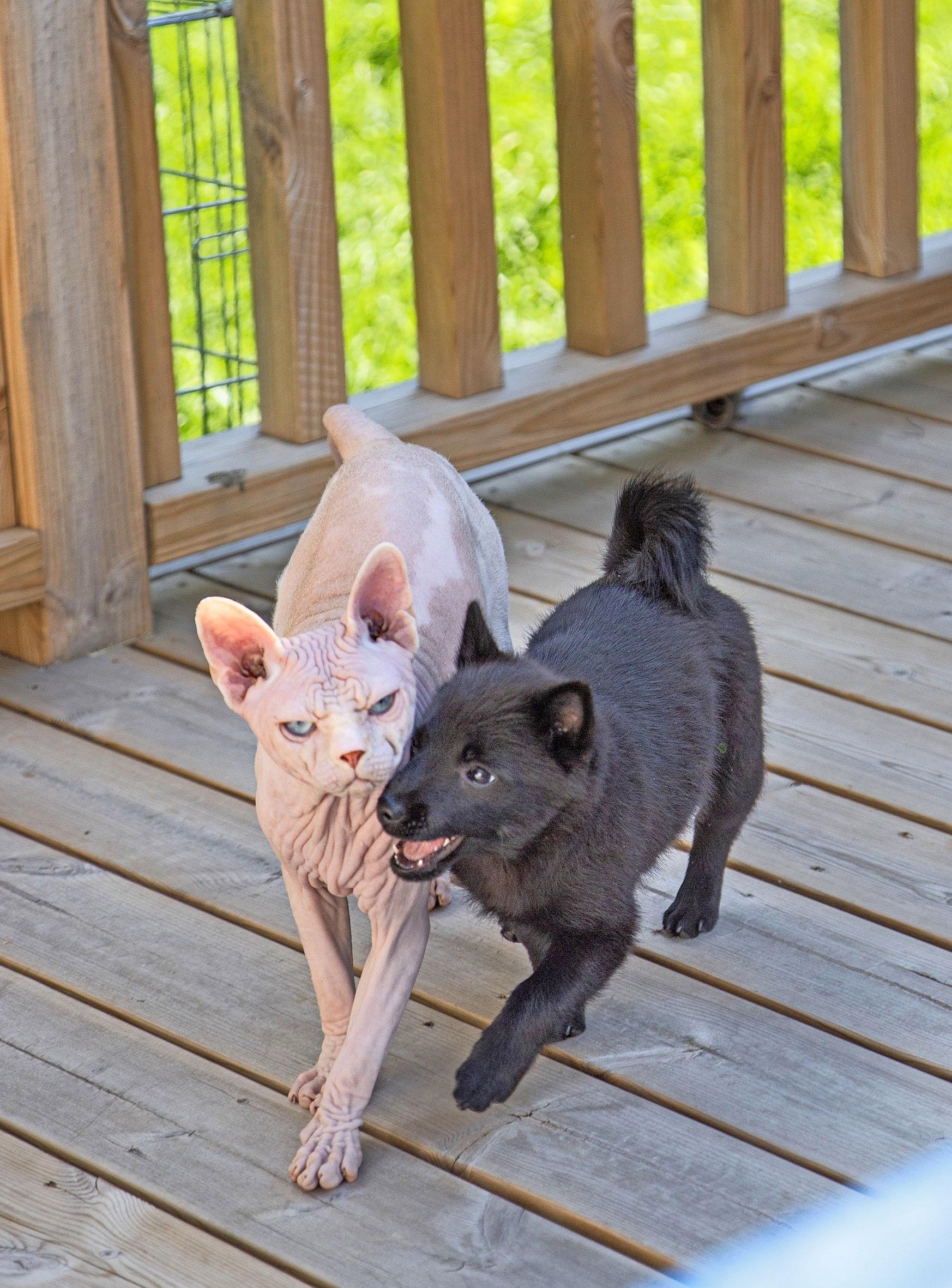 kissa ja koira
