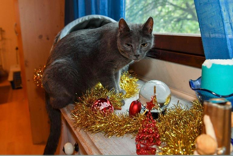Kissojen adoptoijat haastatellaan tarkkaan. – Annamme näitä vain sisäkissoiksi. Edes valjailla ulkoiluttamista ei enää suositella, koska kissa haluaa sitten ulos koko ajan, Anne kertoo.