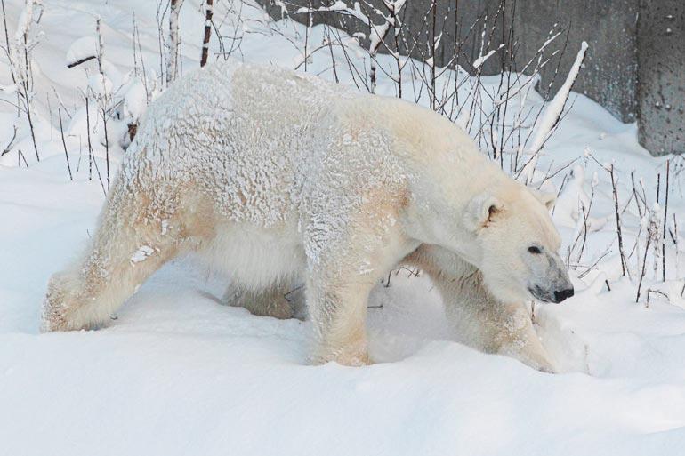 – Yleinen harhaluulo on, että eläinpuistoihin otetaan eläimiä luonnosta. Näin ei kuitenkaan ole, siirrot ovat hyvin hallittuja, asiakaspalveluvastaava Kati Saukko sanoo.