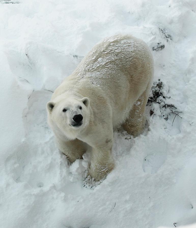 jääkarhu