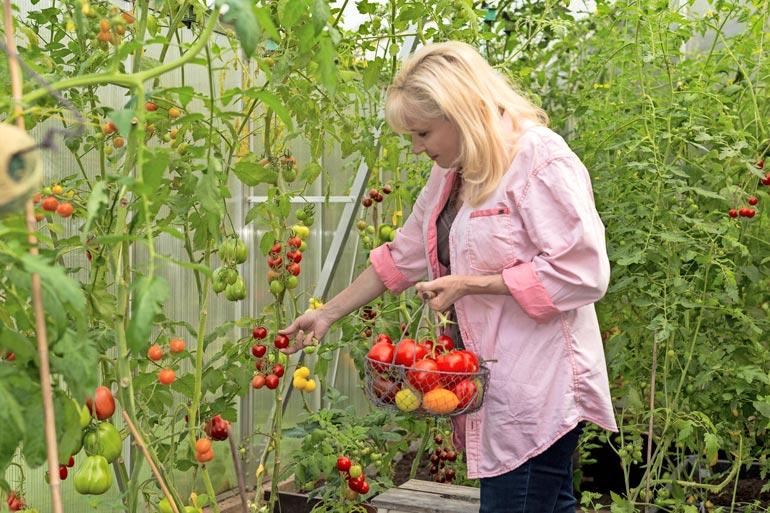 Sonja suosittelee muun muassa varmoja lajikkeita, kuten Gardeners Delight, Sweet One Hundred, Black Russian, Lemon Boy, Pink Wonder ja Zlatava.