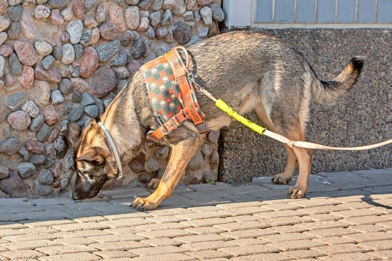 Sokean koiran koulutuksessa on otettava huomioon myös esteistä kertovat sanat, kuten esimerkiksi seis-käsky.