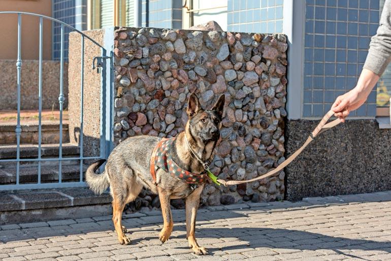 Steffi on Sarin mukaan toisia koiria kohtaan utelias ja lempeä. – Se on aivan ihana persoona!
