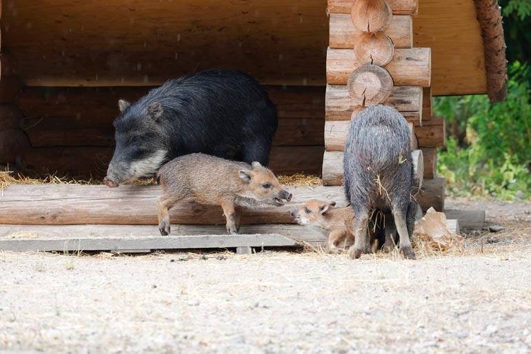 Nasu (vas.) ja Nestori (oik.) viihtyvät ihmisten lähellä. Helteellä niiden lempipaikka on suojassa tarhan perällä.
