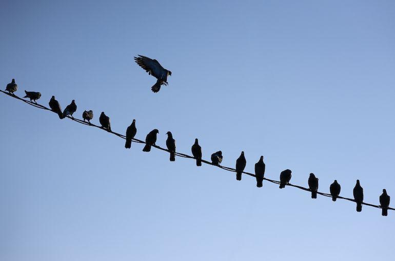 Linnut uhkaavat Australian nettiyhteyksiä.