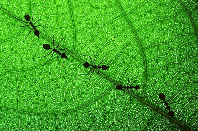 Muurahaisia käytetään manikyyriin.