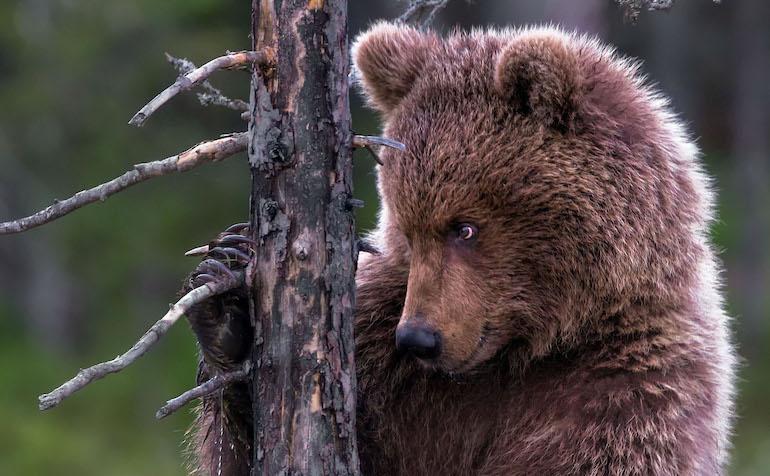 Karhu teki tihutöitä.