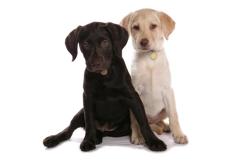 Labradorinnoutajia on monen värisiä.