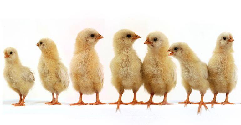 Kananpojat auttavat riippuvuuteen.