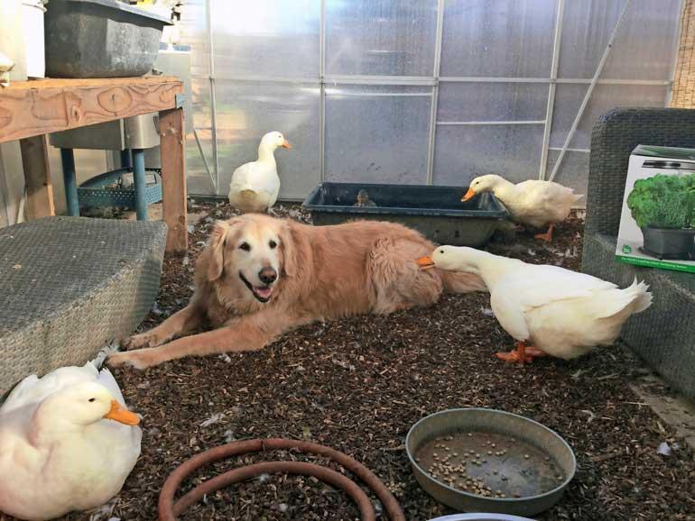Barclay-koira viihtyy ankkojen häkissä.