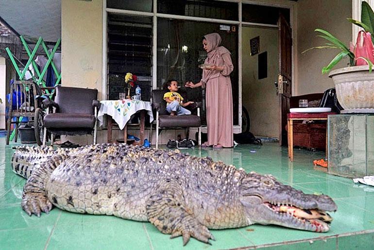 krokotiili