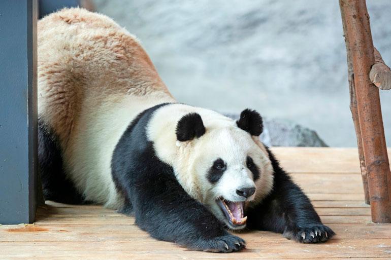 Pandoilla ei ole päivärytmiä, vaan ne saavat nukkua ja syödä silloin kuin niitä huvittaa.