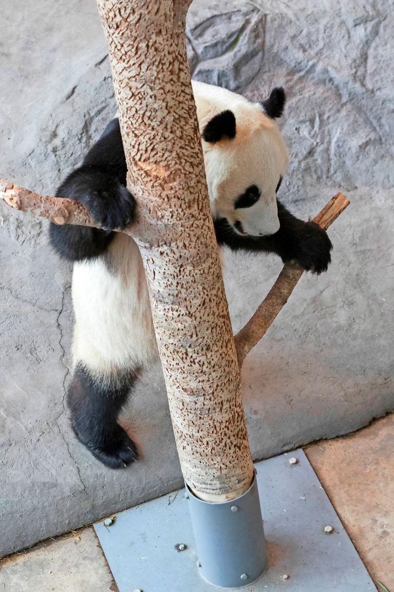 Pandat ovat kömpelöitä otuksia, mutta tarpeen vaatiessa myös kiipeäminen onnistuu. Tässä Pyryn taidonnäyte.