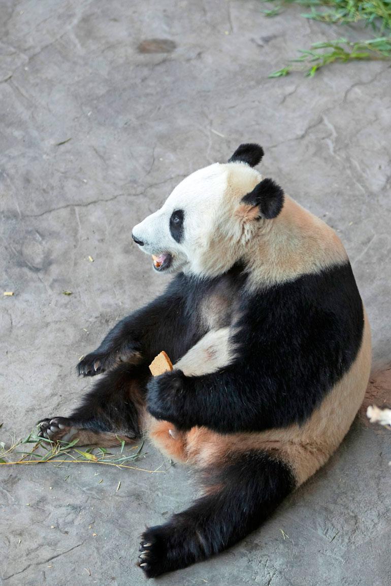 Toinen Lumin ja Pyryn (kuvassa) herkuista on pandakakku, jota Anna leipoo omassa pandakeittiössä. – Se tehdään samalla kiinalaisella reseptillä kuin mitä pandat söivät sielläkin.