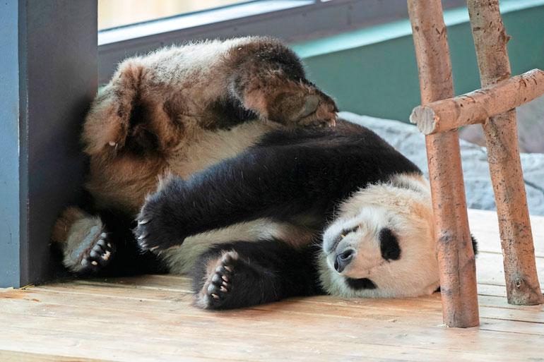 Pandat kierivät nukkuessaan kuin ihminen yöllä konsanaan.