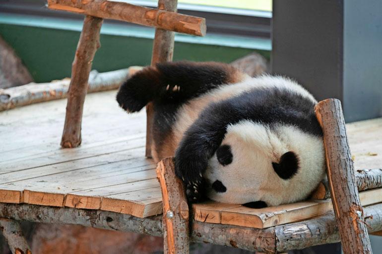 Lumi ja Pyry ovat isopandoja eli jättiläispandoja. Isopandat eivät nuku talviunta, mutta kuka tietää aikovatko ne Suomessa opetella uusille tavoille.