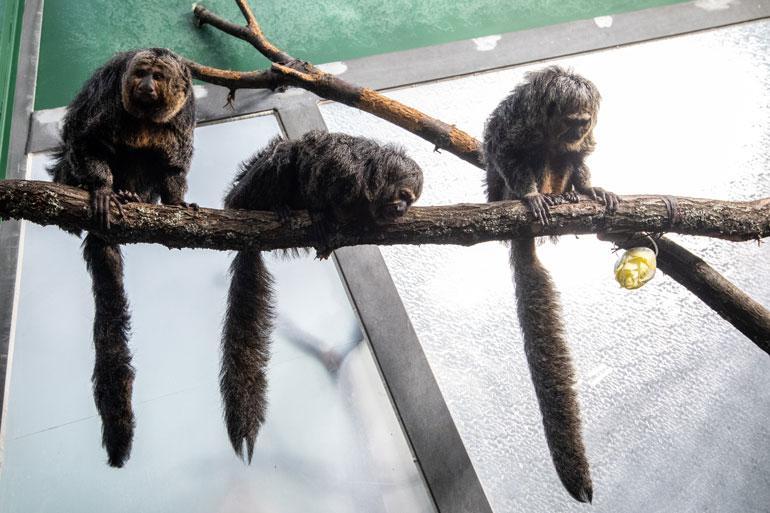Valkopääsaki elää luonnossa puissa, joten niille on rakennettu kiipeilyorsia.