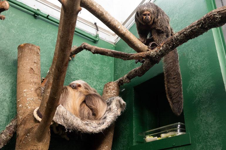 Apinat antavat Cocon nukkua rauhassa riippumatossaan.
