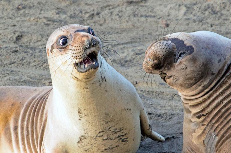 Miten sä ton teit? Nuori merinorsu ällisteli lajitoverinsa niskanivelten liikkuvuutta Kalifornian rannikolla joulukuussa.