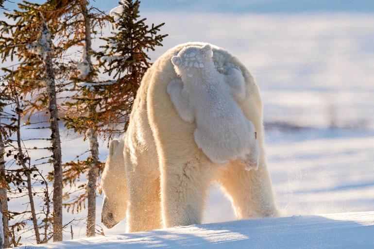 Kaikki lapset tykkäävät kyseisestä leikistä, mutta tämä Kanadassa sijaitsevan Wapuskin luonnonpuiston jääkarhutenava harhautti myös emonsa naamioitumalla sen takalistoon.