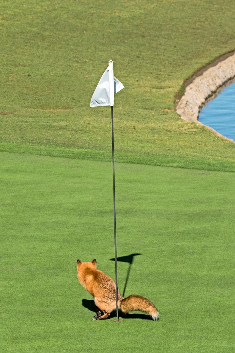 Paikallinen bajamaja? Kettu on siisti eläin, joka ei mielellään tee tarpeitaan minne sattuu. Aikansa reviirilleen ilmestyneitä golfreikiä ihmeteltyään se keksi niille oivallisen käyttötarkoituksen.