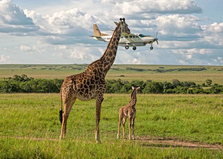 Masai Maran luonnonsuojelualueella Keniassa asuvat kirahvit ovat jo tottuneet kaksijalkaisiin olentoihin. Vuosittain liki´300 000 turistia saapuu tälle alueelle ihmettelemään ja ihastelemaan villieläinten jännittävää ja monimuotista maailmaa.