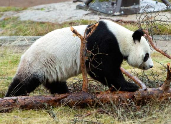 ähtärin Pandat Live