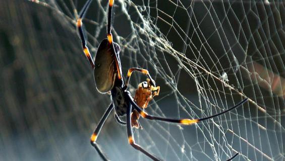 Hämähäkit kuluttavat paljon lihaa vuosittain.