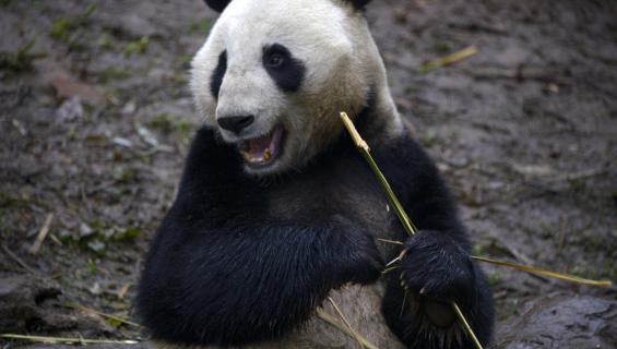 Isopandat lisääntyvät aktiivisemmin, kun niille näytetään pandapornoa.