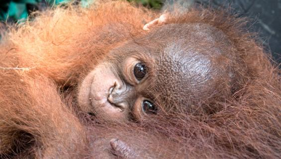 Orangin poikanen Borneossa