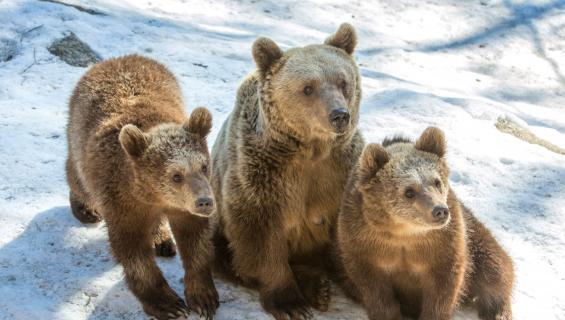 Karhut ovat Ähtärin eläinpuiston suurimpia vetonauloja.