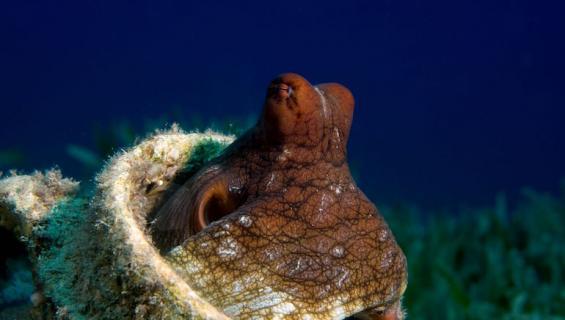 Mustekalat eivät ehkä olekaan yksineläjiä.