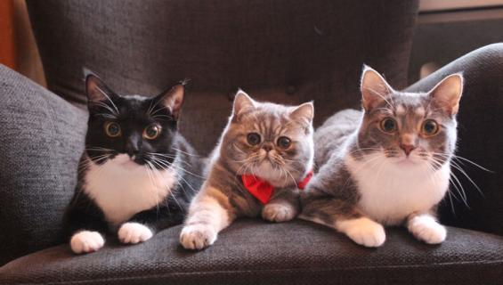 Niilo, Onni ja Mauno vastasivat Seiskan kissakalenteritestistä.