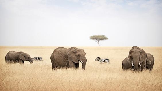 Elefantteja savannilla