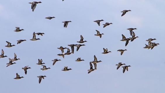 Pikkukylän linnun katoaminen puhututtaa.