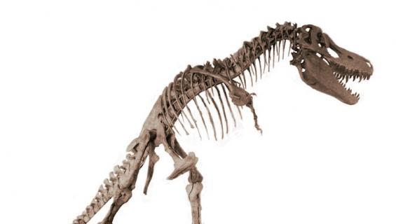 Tyrannosauruksen luuranko on säilynyt hyvin.